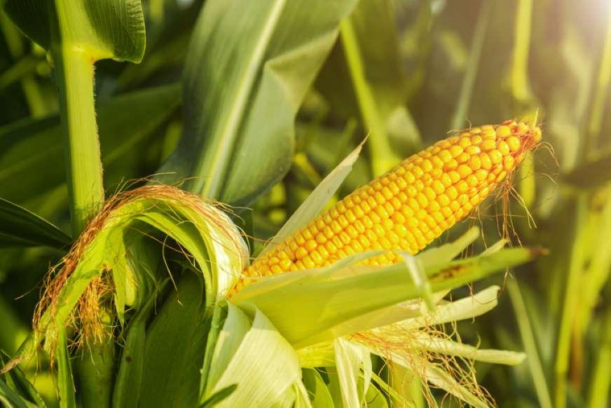 Beneficios del maíz para la salud